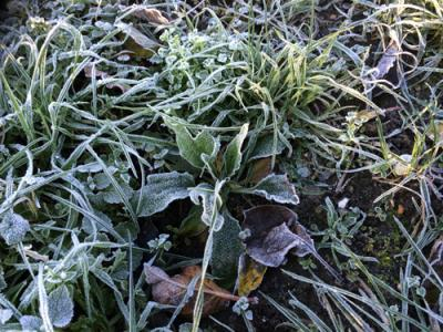 Frozen veg Ealing Dean Allotments