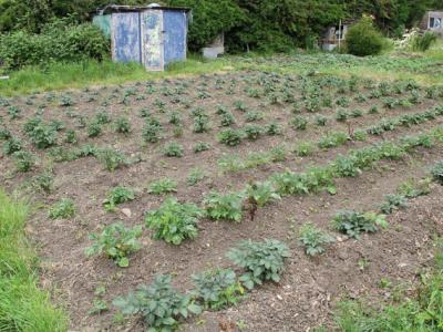 A well cared for allotment plot on Northfield Allotment