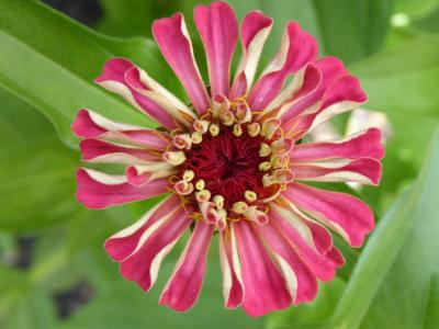 Northfields allotments Zinnia