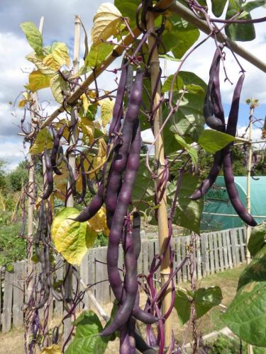 Northfields Allotments purple beans