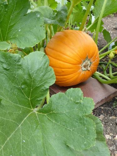 Northfields allotments pumpkin