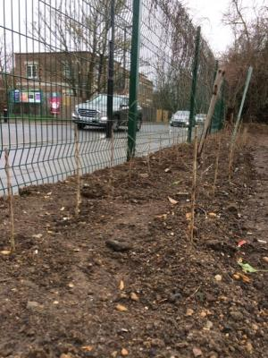 Northfields allotments reinstated hedgerow