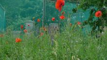 Hives and poppies Northfields Allotment