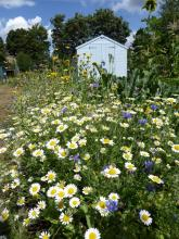 Northfields allotments wildflowers